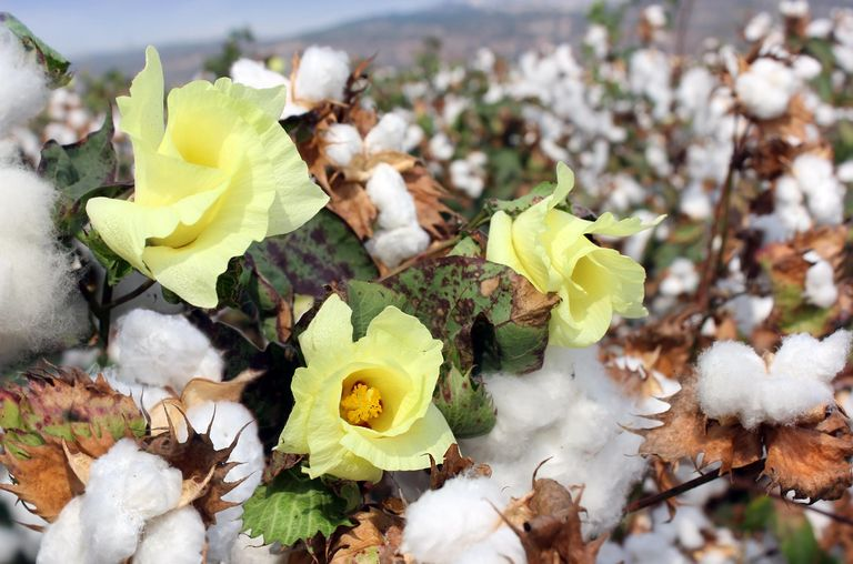 Blooming cotton buds in a field